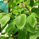 DRIP Botanical Tea Bar Kratom's Positive Benefits